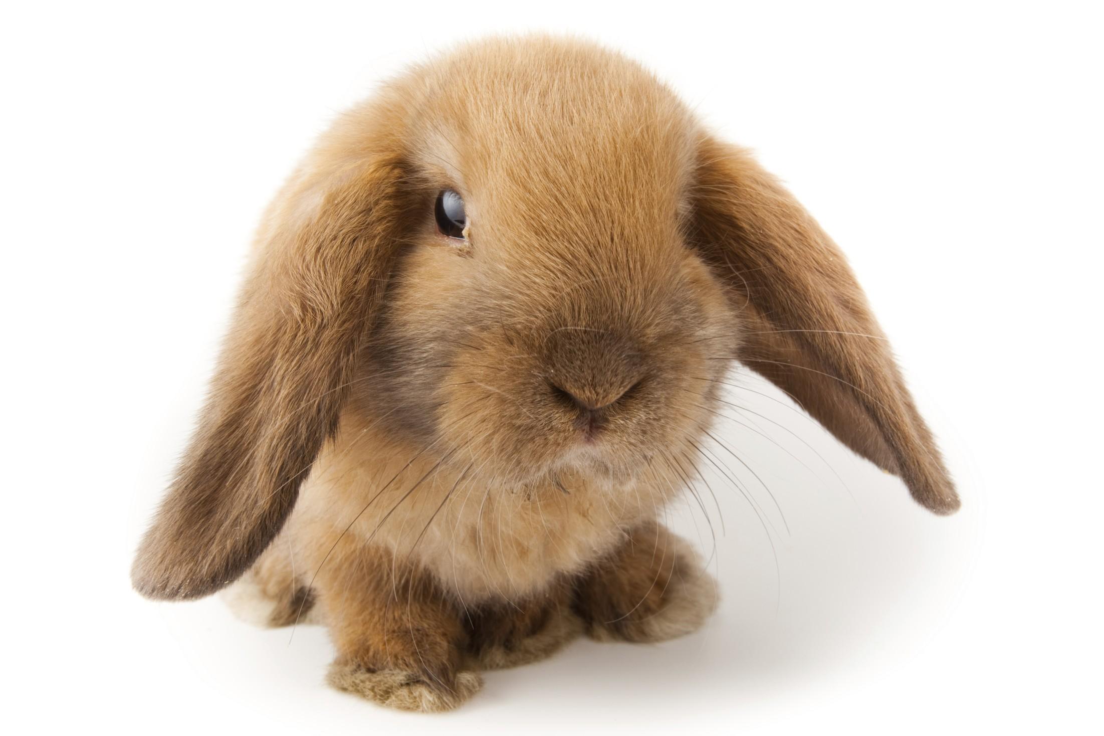 coniglio ariete nano | allevamentoconigli.it