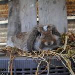 Come spazzolare un coniglio American Fuzzy Lop