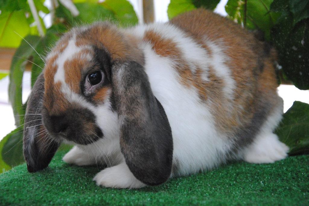 i nostri conigli riproduttori - allevamento conigli
